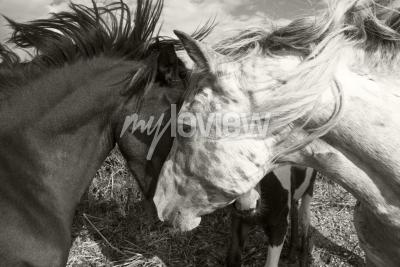 Fotomural Dois, cavalos, saudação, cada, outro