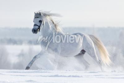 Fotomural Biały koń galopuje w polu w zimie