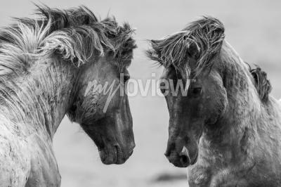 Fotomural Dois, cavalos, brincando, luta, junto