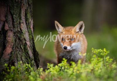 Fotomural Caça de raposas na floresta da Europa