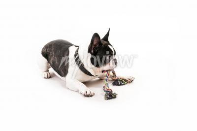 Cão com seu brinquedo no fundo branco