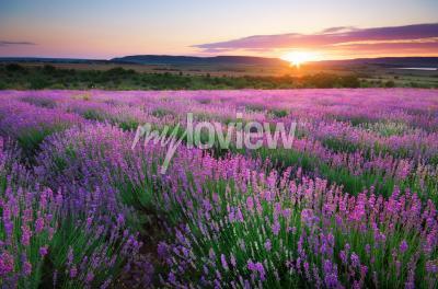 Fotomural Meadow of lavender